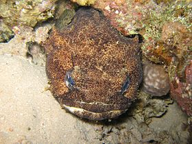 Red Sea Toadfish.jpg