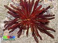 Red feather star (Himerometra robustipinna) 2.jpg