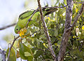 Red shouldered parrot 1 (14992168392).jpg