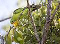 Red shouldered parrot 1 (14992168392).jpg