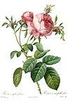 Redoute - Rosa centifolia foliacea.jpg