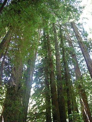 English: Redwood trees in Muir Woods National ...
