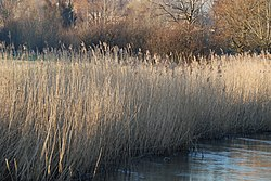 Reed beds - River Nadder at Harnham.jpg