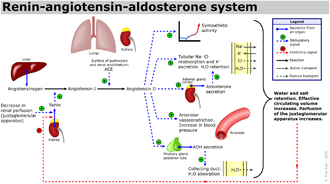 Aldosterone synthase - Renin-angiotensin system schematic showing aldosterone activity on the right