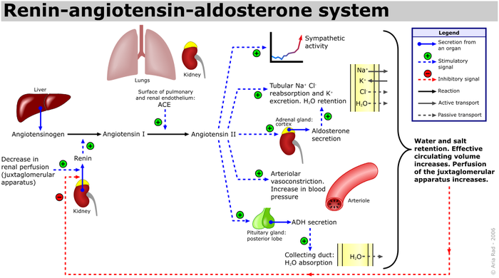 Renin-Angiotensin-Aldosterone System Raas