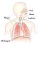 Respirasjonsorgan.png