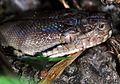 Reticulated Python (Broghammerus reticulatus) juvenile (7816010918).jpg