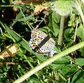 Reverdin's Blue. Plebejus argyrognomon. Female - Flickr - gailhampshire (1).jpg