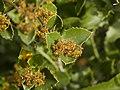 Rhamnus alaternus (flowers).jpg