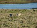 Rhea americana, Las Pampas.jpg