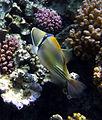 Rhinecanthus assasi - Rotmeer-Picassodrueckerfisch 0580a.jpg