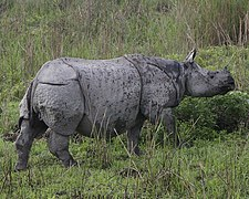 Rhino adult 690V6233 - Flickr - Lip Kee.jpg