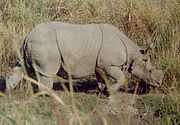 The famous Rhinoceros of Assam at Kaziranga