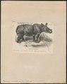 Rhinoceros sumatrensis - 1700-1880 - Print - Iconographia Zoologica - Special Collections University of Amsterdam - UBA01 IZ22000247.tif