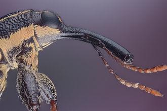 Rhinotia hemistictus - Image: Rhinotia hemistictus (Long Nosed Weevil)