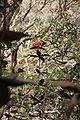 Rhododendron fallacinum.jpg