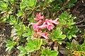 Rhododendron ferrugineum (Gru) (31845815601).jpg