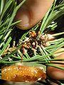 Rhyacionia buoliana 1 beentree.jpg