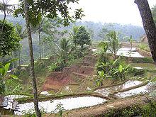 Campos de arroz na ilha de Java, na Indonésia.