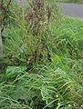 Ridderzuring plant Rumex obtusifolius.jpg