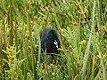 Ridgeway Rail Chick (27293828043).jpg