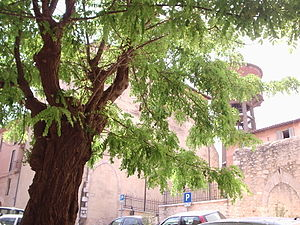 Priverno - Robinia pseudoacacia in Priverno summer city