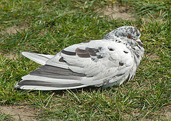 Rock Pigeon white.jpg