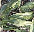 Rohdea japonica (leaf s2).jpg
