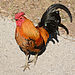 Rooster. Gallus gallus domesticus. Zoological Center of Tel Aviv-Ramat Gan. Israel. 01.jpg