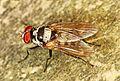 Root-maggot Fly - Anthomyia species, Leesylvania State Park, Woodbridge, Virginia.jpg