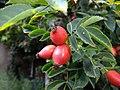 Rosa canina fruit (25).jpg
