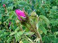 Rosa centifolia Muscosa 2017-05-31 1746.jpg