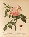Rosa indica fragrans 001.JPG