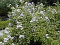 Rosa multiflora.jpg