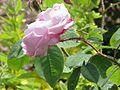 Rosa sp.152.jpg