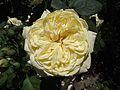 Rosa symphony.jpg