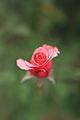 Rose, Carina - Flickr - nekonomania.jpg