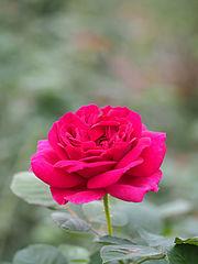 Rose, Wenlock, バラ, ウェンロック, (15855824180).jpg