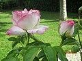 Rose et bouton Princesse de Monaco.jpg
