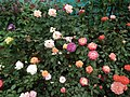 Rose from Lalbagh flower show Aug 2013 8515.JPG