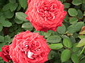 Rose from lalbagh year 2012 - 1658.JPG