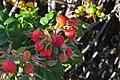 Rose hips 03.jpg