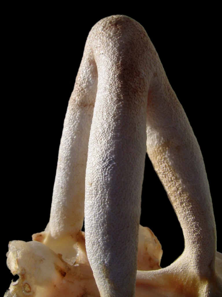 A calcareous skeletal structure that looks like a thick tripod