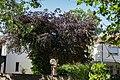 Rotbuche im Pfarrgarten an der Katharinenkirche-ND-OS-S 06.jpg