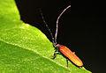 Rotdeckenkäfer - Lycidae (8369683027).jpg