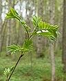 Rowan sapling in Gullmarsskogen.jpg