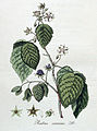 Rubus caesius — Flora Batava — Volume v4.jpg