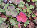 Rubus calycinus AJTJohnsingh DSCN3704.JPG