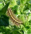 Ruby Tiger. Phragmatobia fuliginosa - Flickr - gailhampshire.jpg