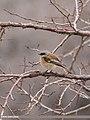 Rufous-backed Redstart (Phoenicurus erythronotus) (32552898520).jpg